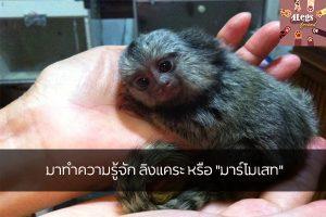 """มาทำความรู้จัก ลิงแคระ หรือ """"มาร์โมเสท"""" สัตว์น่ารัก สัตว์เลี้ยงแปลก ทริคการเลี้ยงสัตว์ ลิงแคระมาร์โมเสท"""
