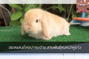 ฮอลแลนด์ลอป กระต่าย สายพันธุ์ขนหนาหูยาว สัตว์น่ารัก สัตว์เลี้ยงแปลก ทริคการเลี้ยงสัตว์ กระต่ายฮอลแลนด์ลอป