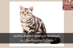 อเมริกัน ช็อตแฮร์ (American Shorthair) แมวน้อยที่จะมากุมหัวใจคุณ สัตว์น่ารัก สัตว์เลี้ยงแปลก ทริคการเลี้ยงสัตว์ รีวิวพันธุ์แมว AmericanShorthair