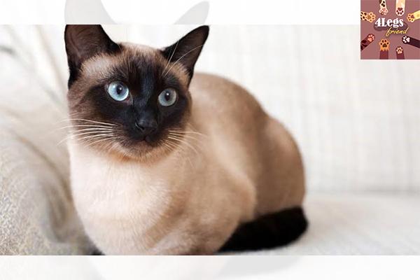 พันธ์ุแมวมงคล เลี้ยงแล้วปัง สัตว์น่ารัก สัตว์เลี้ยงแปลก ทริคการเลี้ยงสัตว์ พันธ์ุแมวมงคล
