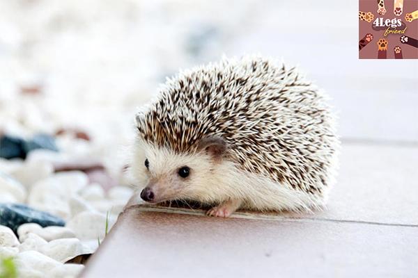 ข้อควรรู้ในการเริ่มต้นเลี้ยงเม่นแคระ สัตว์น่ารัก สัตว์เลี้ยงแปลก ทริคการเลี้ยงสัตว์ เทคนิคการเลี้ยงเม่นแคระ