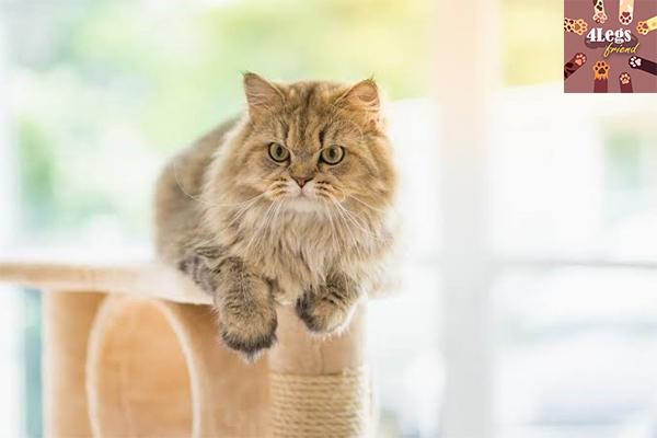 10 วิธีดูแลแมวเปอร์เซีย สัตว์น่ารัก สัตว์เลี้ยงแปลก ทริคการเลี้ยงสัตว์ วิธีดูแลแมวเปอร์เซีย
