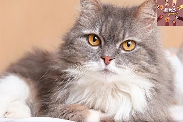 แนะนำพันธุ์แมวน่าเลี้ยง สัตว์น่ารัก สัตว์เลี้ยงแปลก ทริคการเลี้ยงสัตว์ แนะนำพันธุ์แมวน่าเลี้ยง